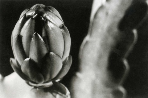 Alfons Himmelreich, Cactus Cereus Grandiflorus (Queen of the Night), 1940s, Silver print, collection of Silver Print Gallery, Ein Hod