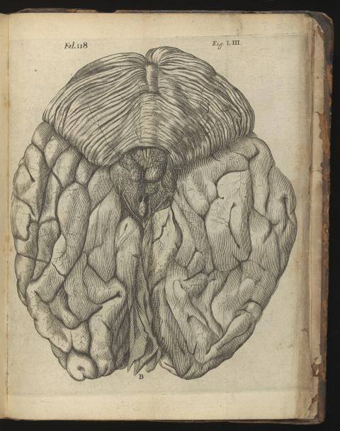 رينيه ديكارت. نظرة على الجزء الخلفي للدماغ الذي يحتوي على الغدة الصنوبرية